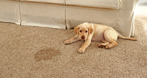 Pet Urine and Poop Stain